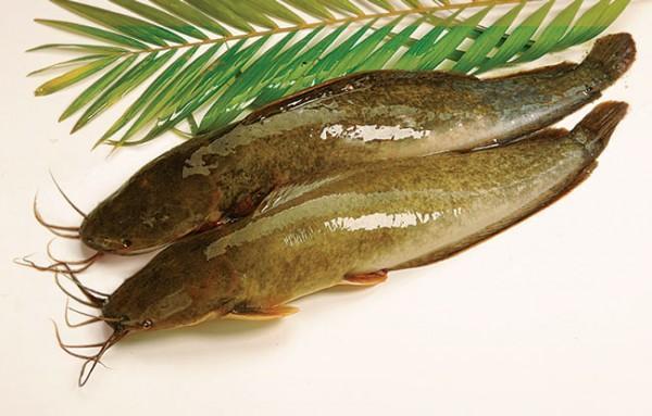 Cá trê là loại thực phẩm cực kỳ bổ dưỡng